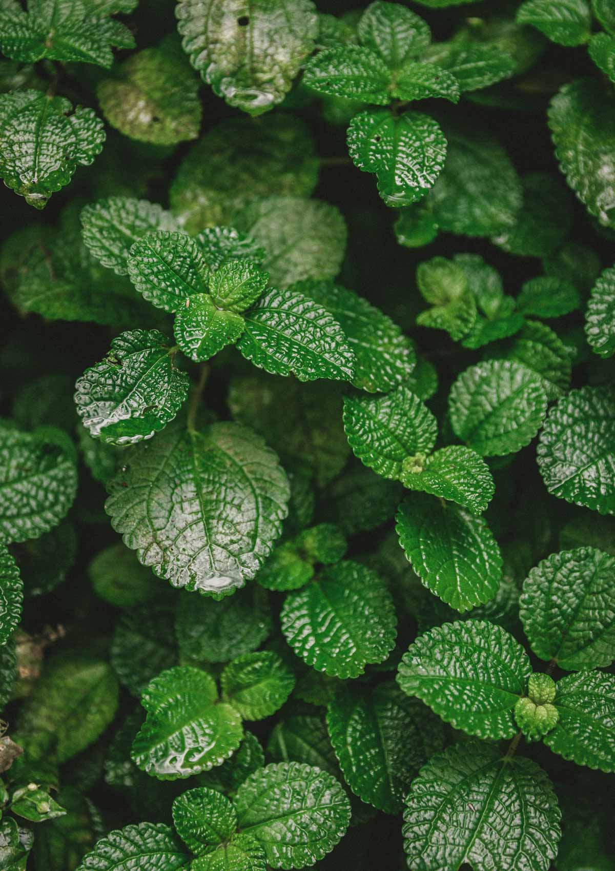 Mint leaves up close.